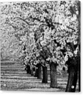 Springtime In The Almond Fields Acrylic Print