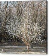Almond Orchard 1 Acrylic Print