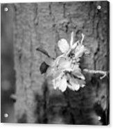 Almond Orchard 2 Acrylic Print