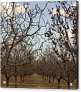 Almond Orchard Acrylic Print by Denice Breaux