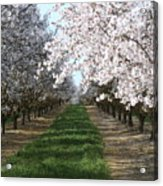 Almond Shadows Acrylic Print