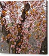Almond Tree Flowers 05 Acrylic Print