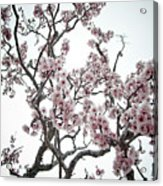 Almond Tree In Flower Acrylic Print