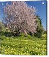 Almond Tree In Meadow Acrylic Print