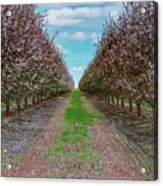 Almond Trees Of Button Willow Acrylic Print