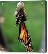Almost A Butterfly Acrylic Print