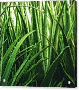 Aloe 5 Acrylic Print