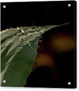 Aloe And Water Droplets Acrylic Print