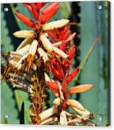 Aloe Bloom Desert Garden Acrylic Print