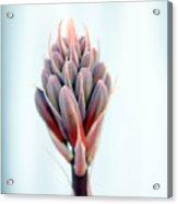 Aloe Vera Bloom Acrylic Print