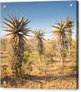 Aloe Vera Trees Botswana Acrylic Print