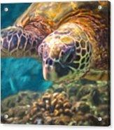 Aloha Honu Acrylic Print