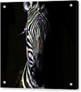 Zebra Fade Into Light Acrylic Print