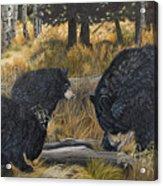 Along An Autumn Path - Black Bear With Cubs Acrylic Print