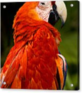 Aloof In Red Acrylic Print