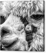 Alpaca Close Acrylic Print