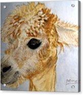 Alpaca Cutie Acrylic Print