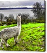 Alpaca Enjoying The View. Acrylic Print