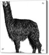 Alpaca Fine Art Acrylic Print