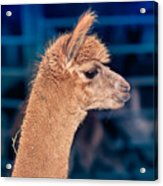 Alpaca Wants To Meet You Acrylic Print