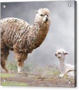 Alpacas Mum And Baby Acrylic Print