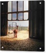Alpacca Guard Acrylic Print