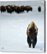 Alpha Male Bison Acrylic Print