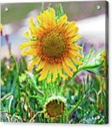 Alpine Sunflower In Summer Acrylic Print