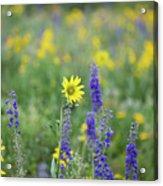 Alpine Sunflower Acrylic Print
