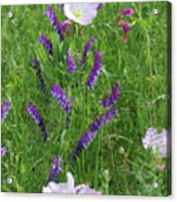 Alpine Vetch And Primroses Acrylic Print