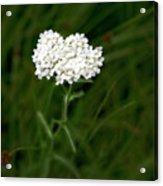 Alpine Yarrow Wildflower 1 Acrylic Print