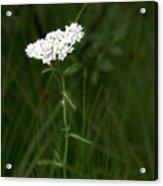 Alpine Yarrow Wildflower 2 Acrylic Print