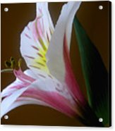 Alstroemeria - Responding Acrylic Print