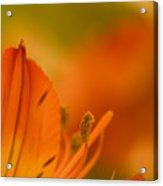 Alstroemeria I Acrylic Print