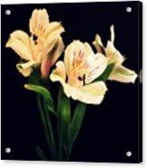 Alstroemeria Sprig Acrylic Print