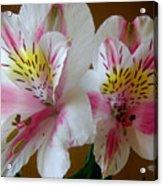 Alstroemerias - Heralding Acrylic Print