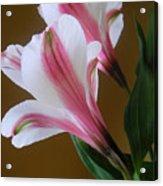 Alstroemerias - Together Acrylic Print