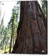 Alta Vista Giant Sequoia Acrylic Print