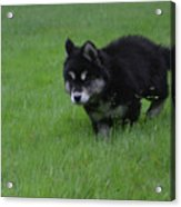 Alusky Puppy Creeping Through Green Grass Acrylic Print