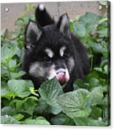 Alusky Puppy Dog Licking The Tip Of His Nose Acrylic Print
