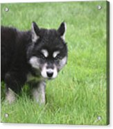 Alusky Puppy Looking Like  He Was Caught Red Handed Acrylic Print
