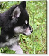 Alusky Puppy Tip Toeing Through Green Foliage Acrylic Print