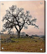 Amador Oak Acrylic Print