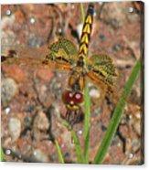 Amanda's Pennant Dragonfly Female Acrylic Print