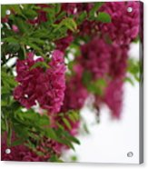 Amaranth Pink Flowering Locust Tree In Spring Rain Acrylic Print