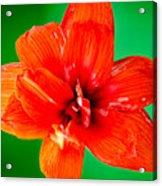 Amaryllis Contrast Orange Amaryllis Flower Appearing To Float Above A Deep Green Background Acrylic Print