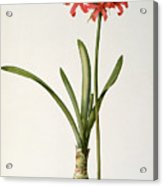 Amaryllis Curvifolia Acrylic Print by Pierre Redoute