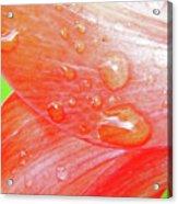 Amaryllis Dew Drops Acrylic Print