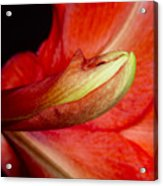 Amaryllis Flower About To Bloom Acrylic Print