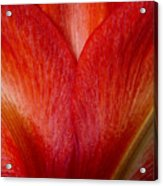 Amaryllis Flower Petals Acrylic Print